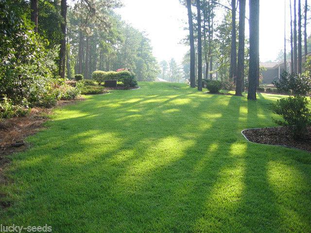ZENITH Zoysia de hierba 100% Puro - 1 Lb. (en backorder)
