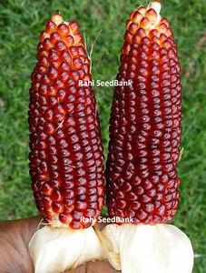 Sweet-Red-Corn-A-Gorgeous-Ornamental-Medium-Sized-Popcorn-Variety-5-Seeds