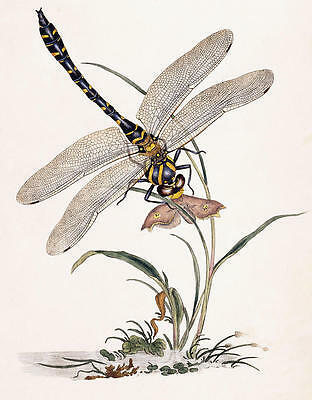 Dragonfly  by Edward Donovan  Giclee Canvas Print Repro