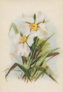 ANTIQUE WHITE DAFFODIL NARCISSUS FLOWER GARDEN PLANT OLD COLOR ART PRINT