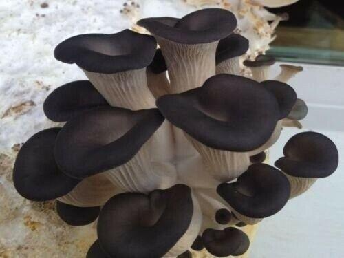 Wax for log inoculation USA 100+Organic Black Oyster Gourmet mushroom Plugs
