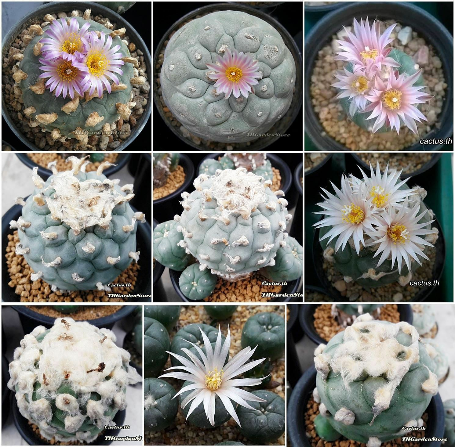 Rare Cyclamen Persian Seeds Winter Flower Potted Plants Home Garden Bonsai 2pcs