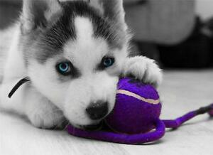siberian husky puppy glossy poster picture photo dog wolf sled cool