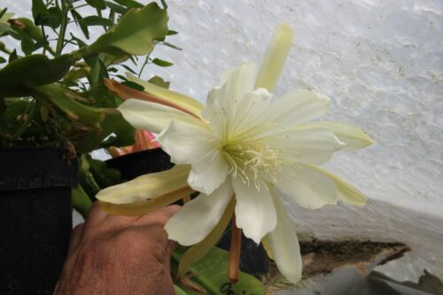 "Epiphyllum Blattkakteen Epicactus /""Oride/"" Steckling"