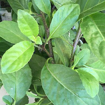 Gynura procumbens Edible Plant Longevity Spinach 5 cuttings
