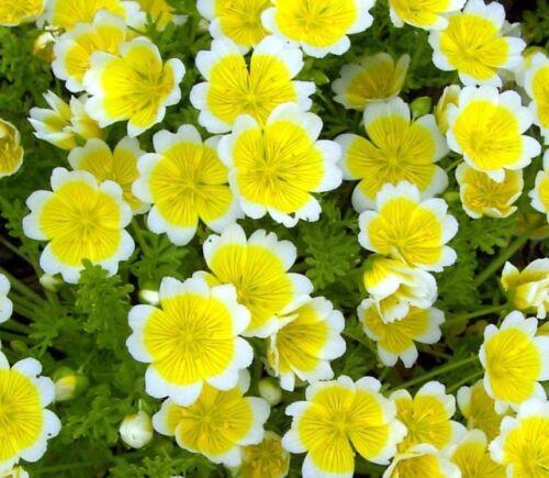 500 seeds POACHED EGG PLANT YELLOW WITH WHITE EDGE Limnanthes douglasii