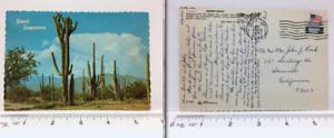 Vintage-Postcard-Giant-Mammoth-Saguaros-Cactus-Desert-Yuma-Arizona-AZ-1974
