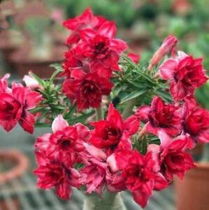 5 pcs desert rose flower adenium obesum red lotus bonsai seeds image is loading 5 pcs desert rose flower adenium obesum 034 mightylinksfo