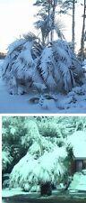 Himalaya Palme Caryota maxima / sukkulente Exoten für den Balkon Balkonpflanzen