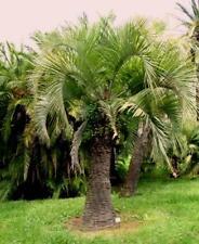 10x Palmen Samen Butia eriospatha (Wollige Geleepalme) Winterhart -14°C