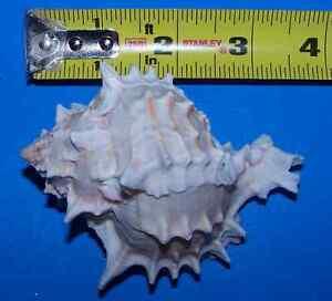 1-NATURAL-REAL-PINK-MUREX-large-SEASHELLS-HERMIT-CRAB