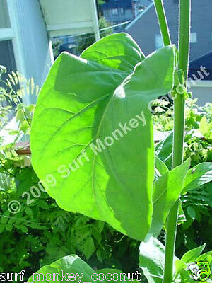 500 Virginia Tobacco seeds w/ FREE how to grow booklet! HEIRLOOM GRADE A+