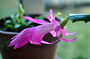 Schlumbergera-Bristol-Queen-Cactus-de-Noel