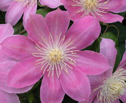 "2.5/"" Pot Creamy Rose Pink Flower Long Lasting Blooms Irene Clematis"