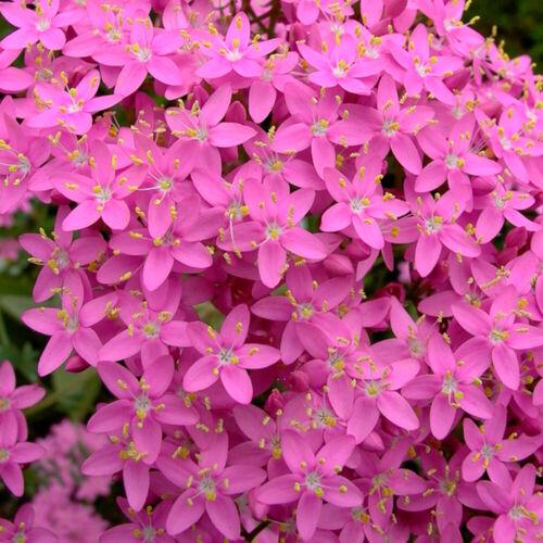 Vera mille Gülden crauti 500 semi centaurium erythraea pietra giardino pianta di guarigione