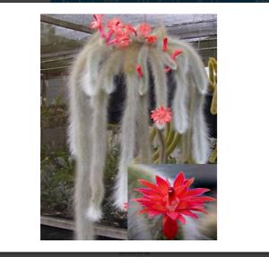 Hildewintera Colademononis Stunning Monkey Tail Cactus Red Flowers10 seeds