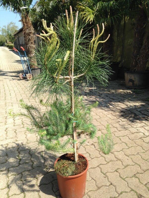 pinie 130 cm pinus pinea frosthart 20 c pinienbaum nadelbaum mittelmeerpinie ebay. Black Bedroom Furniture Sets. Home Design Ideas