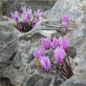 Fairy Flower Seeds Cyclamen Graecum seeds x10 seeds