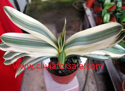 3 years old Short variegated round edge Clivia