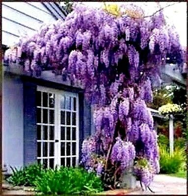 Beautiful Purple Wisteria Vine Seeds See Our Store For Over 900