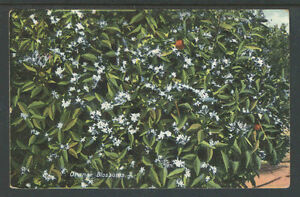1910s-ORANGE-BLOSSOMS-CALIFORNIA-POSTCARD