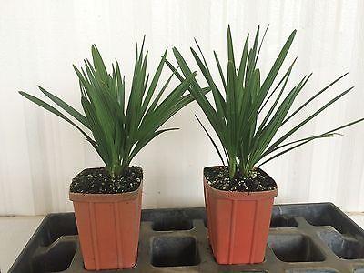 Cold Hardy Palm Serenoa repens (Saw Palmetto-Green)