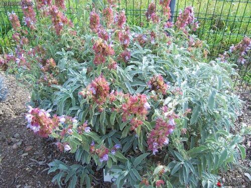 Salvia pomifera (20 graines)
