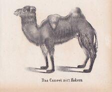 Kamel Trampeltier Camelus bactrianus LITHOGRAPHIE von 1831 Brüggemann Schinz