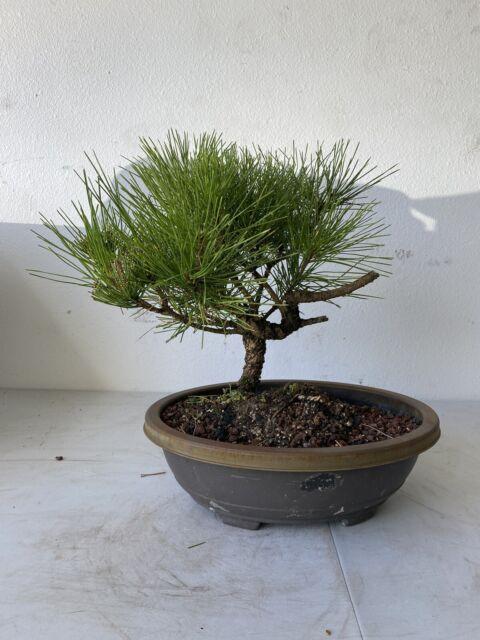Japanese Black Pine Bonsai Pre Bonsai Tree For Sale Online