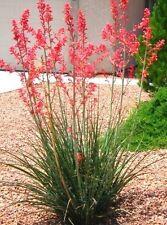 HESPERALOE PARVIFLORA RUBRA, succulent rare RED Flower Yucca aloe seed -10 SEEDS