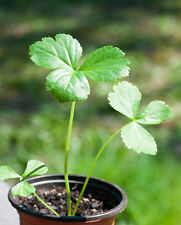 Rare seeds »Angelica keiskei koidzumi - Ashitaba - Longevity Herb »8 fresh seeds