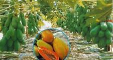 Thai Red Lady Papaya - Extra Dwarf Variety - Hybrid Fruit Seeds Huge Production