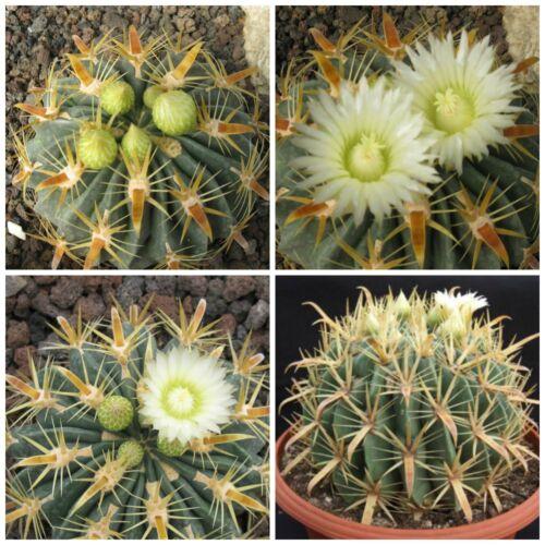 flavispinus seed succulents seeds 10 seeds of Ferocactus latispinus var R