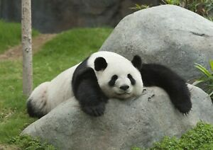 Adorable-Lazy-Panda-Poster-Print-Size-A4-A3-Wild-Animals-Poster-Gift-8307