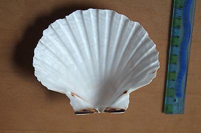 Konvolut 4 Original Königsmuscheln Geschickte Herstellung