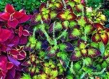 25 Samen Buntnessel, Farbmix (Solenostemon scutellarioides, Coleus blumeii)
