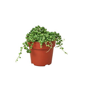 Succulent-039-String-of-Pearls-039-4-034-Pot