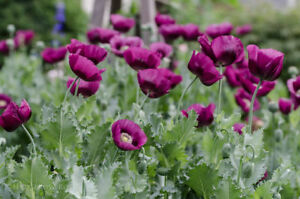 Poppy-Papaver-Somniferum-Lauren-039-s-Grape-Dark-Purple-Rare-150-Seeds-2018