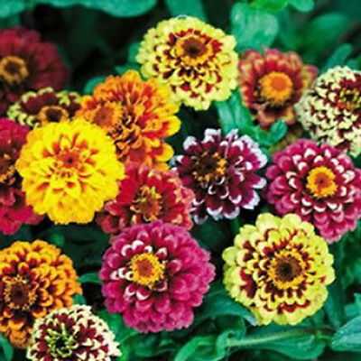woo-wall Happy 50PCS Zinnia Flower Seeds Plant Garden Home DIY