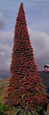 Samen ..... Roter Teide-Riesen-Natternkopf keine Blume ist beeindruckender  !
