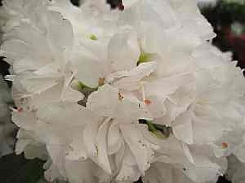 Queen Anne Rhododendron hybr 30-40 cm