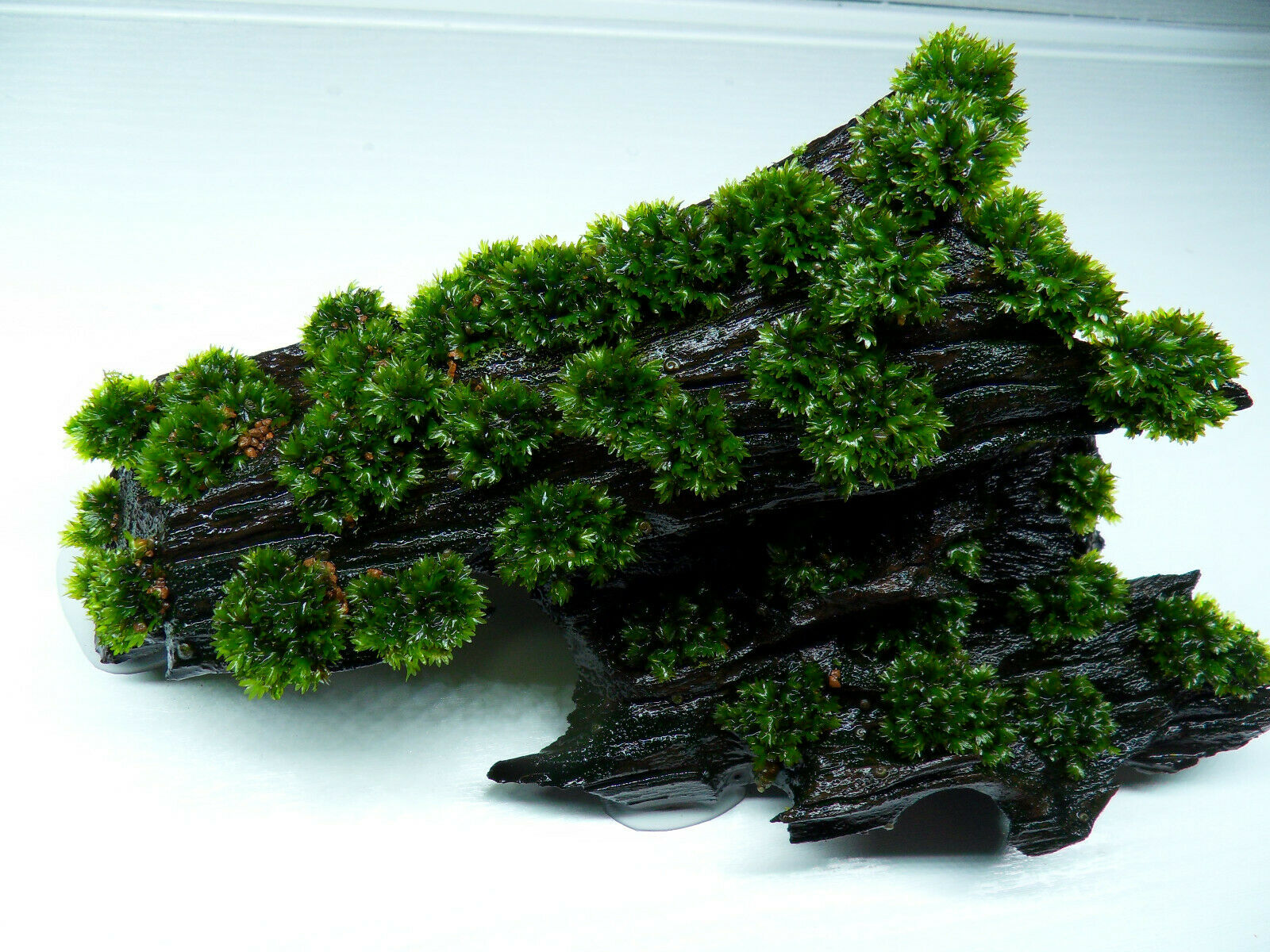 Fissidens sp. Mallorca auf Nano Mangrovenholz Größe M Mallorca Phönixmoos