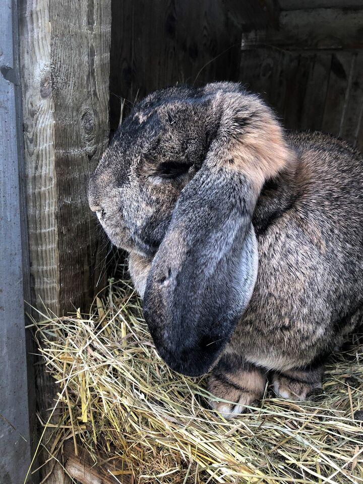 Kanin, Fransk Vædder, 0 år