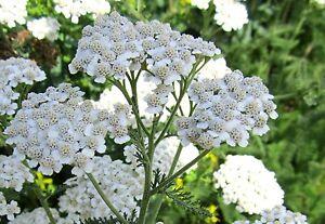 3000-Samen-Gemeine-Schafgarbe-Achillea-millefolium-Wildform-winterhart-Tee