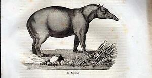 IL-TAPIRO-XILOGRAFIA-PRIMA-META-039-039-800-1835-TRATTA-DA-LA-MOSAIQUE-ZOOLOGIA