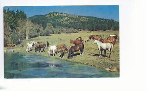 Herd-Of-Horses-In-The-Pasture-Colorado-Unused-Chrome-Postcard-973