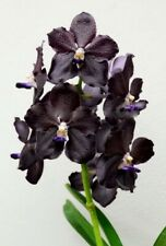 Vanda M Palmer `Black Spots´ Hybride Duft NEW Orchidee Orchideen