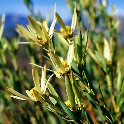 Leucadendron Salignum ~ Red Devils Blush ~  Dazzling Conebush ~ VeryRare 3 Seeds