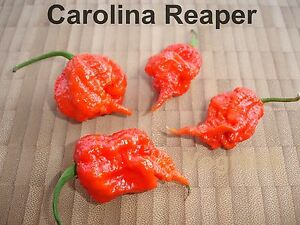 20 carolina reaper hp22b samen weltrekord chili bis zu 2 2 mio scoville ebay. Black Bedroom Furniture Sets. Home Design Ideas