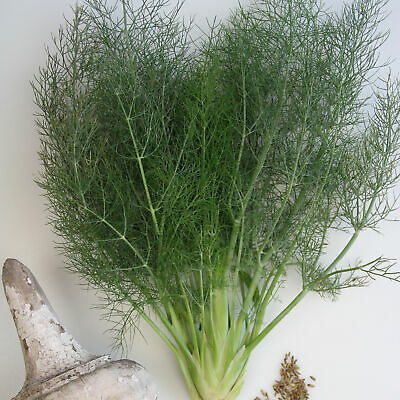 Florence Fennel Seeds Microgreen or Garden     binC198